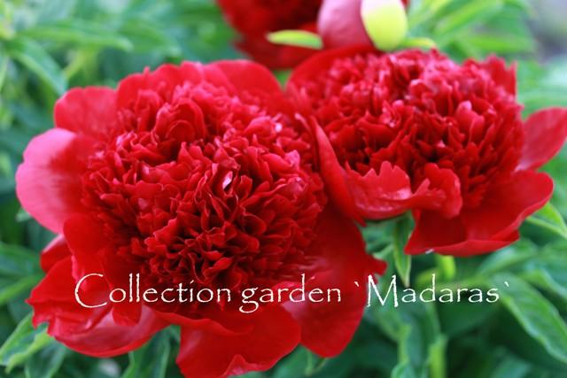 `Red Charm`