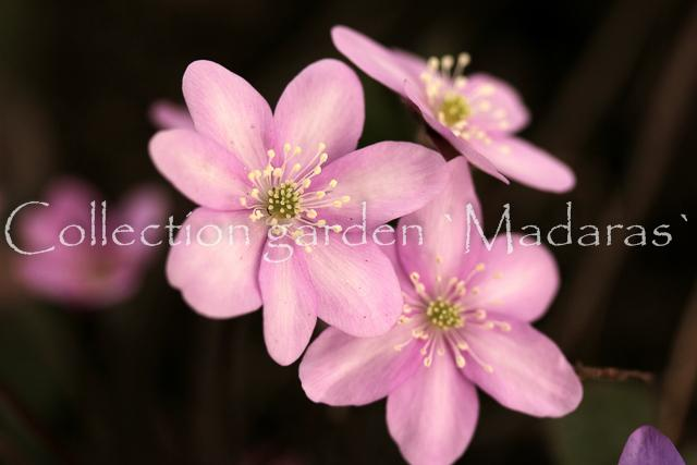 Hepatica nobilis `Rožu Medus` SOLD OUT